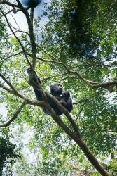 Eastern Common Chimpanzee male (Pan troglodytes schweinfurthii)