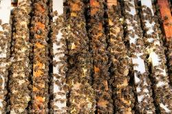 Honey bee on frames (Apis mellifera)