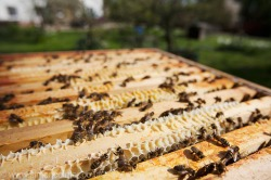 Honey bee hive (Apis mellifera)